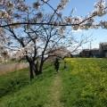 お花見してきました。桜きれいですね。