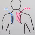 恵比寿の整体師、肩こりの筋肉。菱形筋