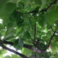 梅を収穫しました。自家製の梅酒。