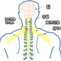 肩が凝ったら指を組んで軽く引っ張る。大椎から労宮を通す。