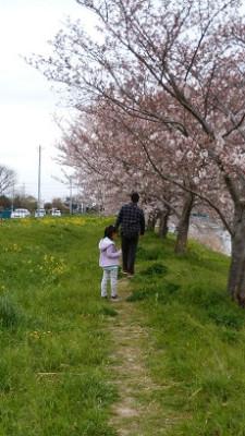 2016桜2